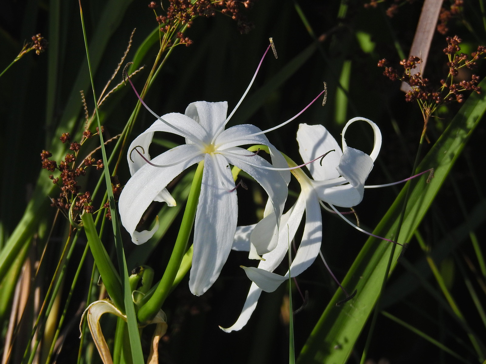 Swamp lily - One of the South Florida Flowers that looks the best