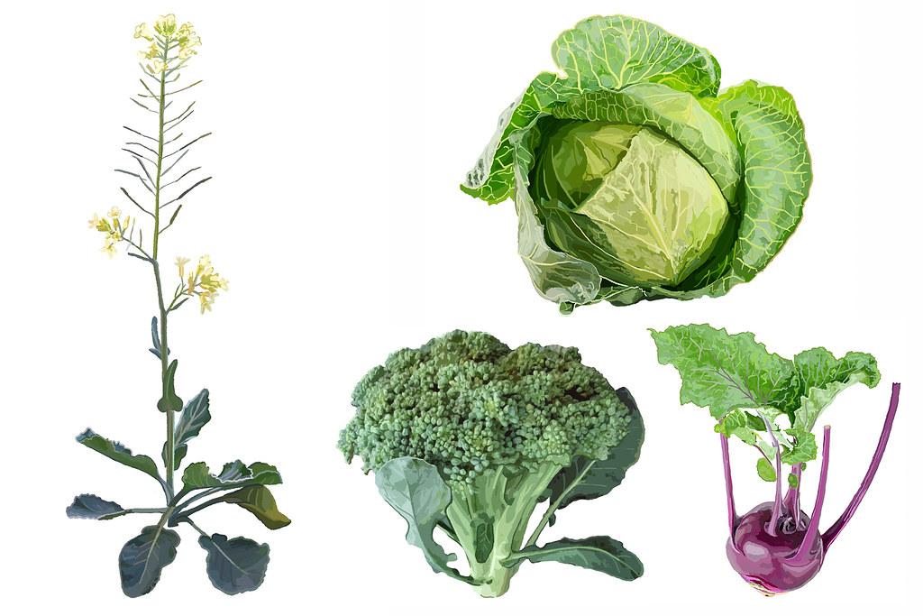 Illustration of wild relative brassica cretica next to modern broccoli, cabbage and kohlrabi