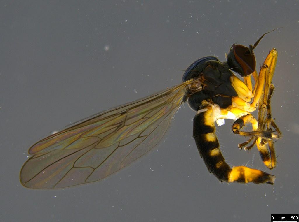 5 - Empidoidea sp.