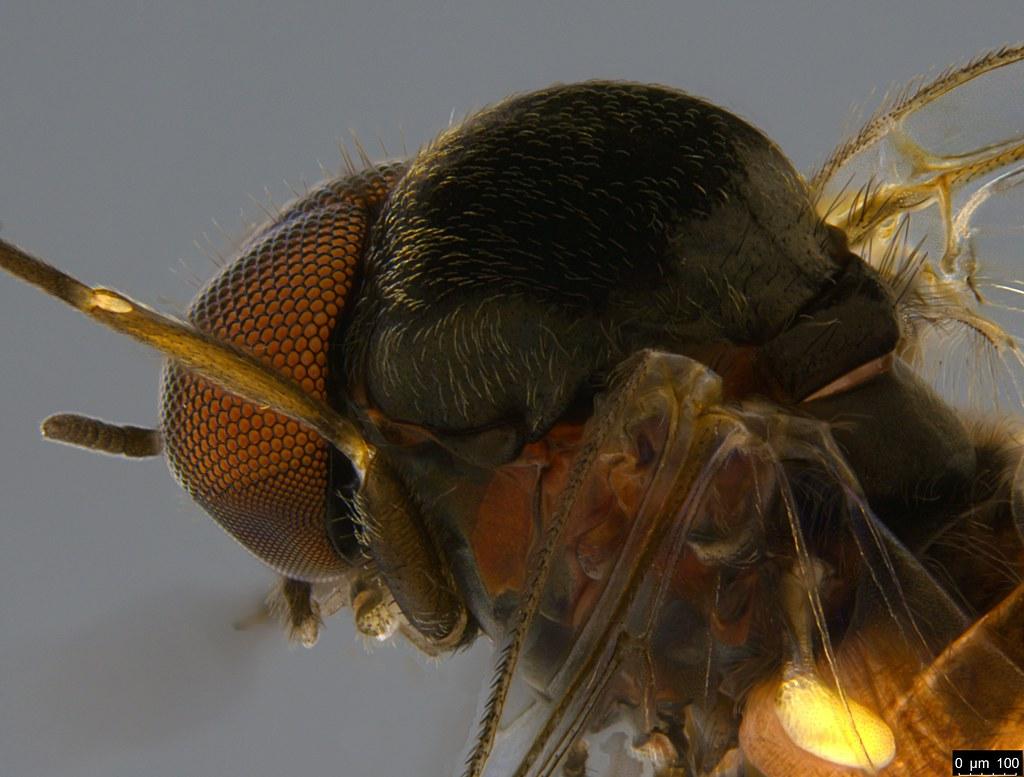7c - Simuliidae sp.