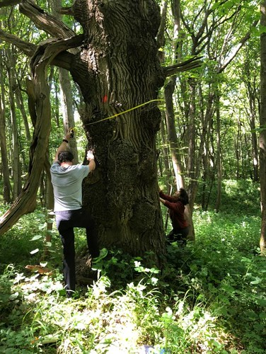 Tue, 06/22/2021 - 14:07 - Wytham Woods field crew members Bailey (left) and Raye (right) record the diameter of an oak at 2 m.  Photo credit: Walter Huaraca Huasco
