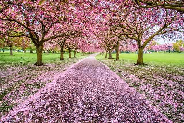 Dawson Park Blossoms