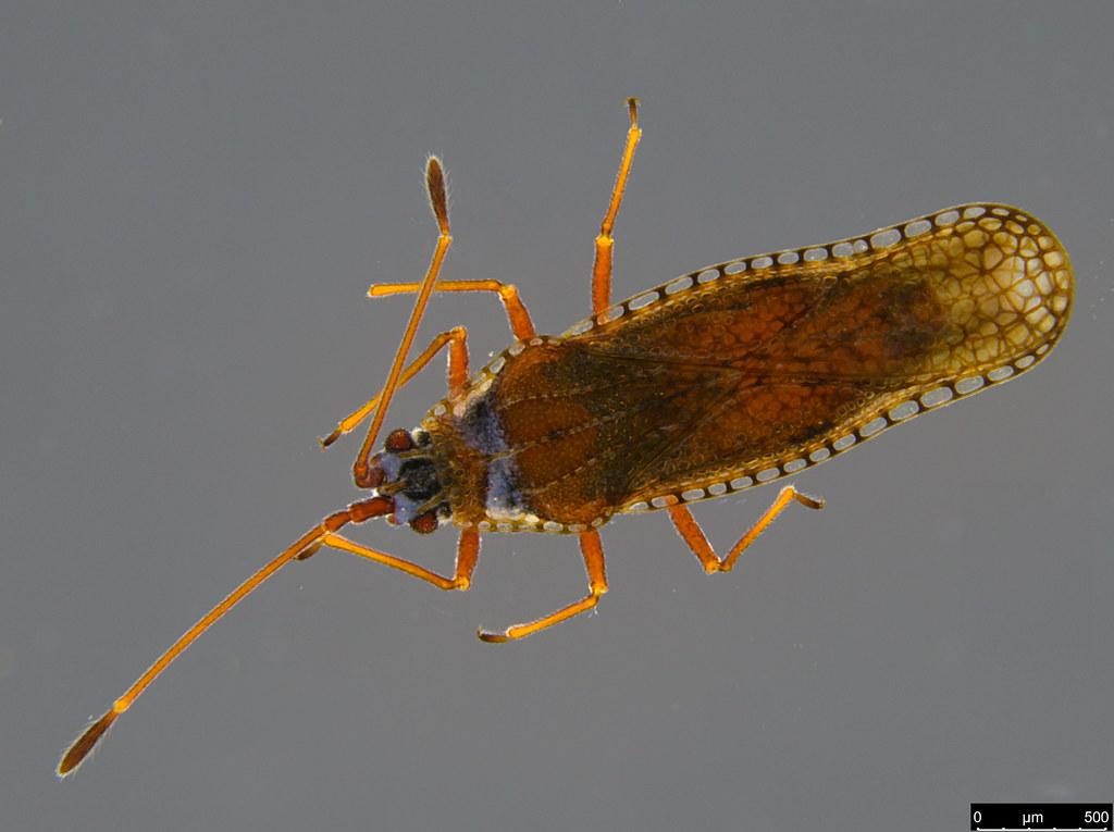 8b - Ulonemia burckhardti Péricart, 1992