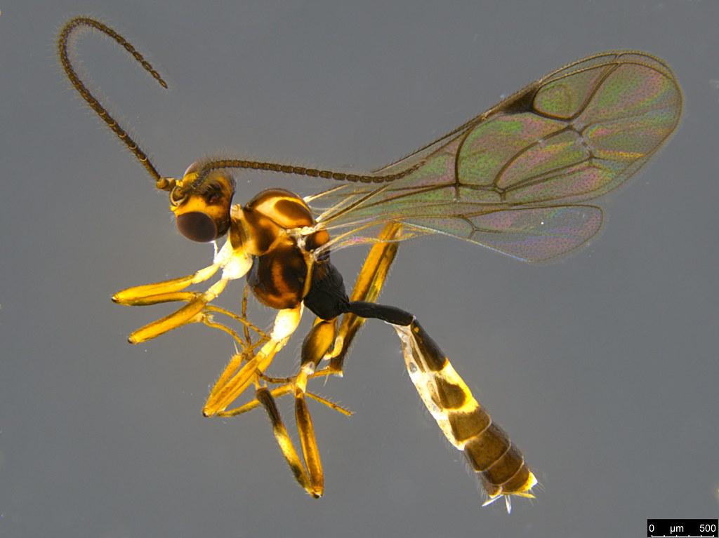 14a - Ichneumonidae sp.