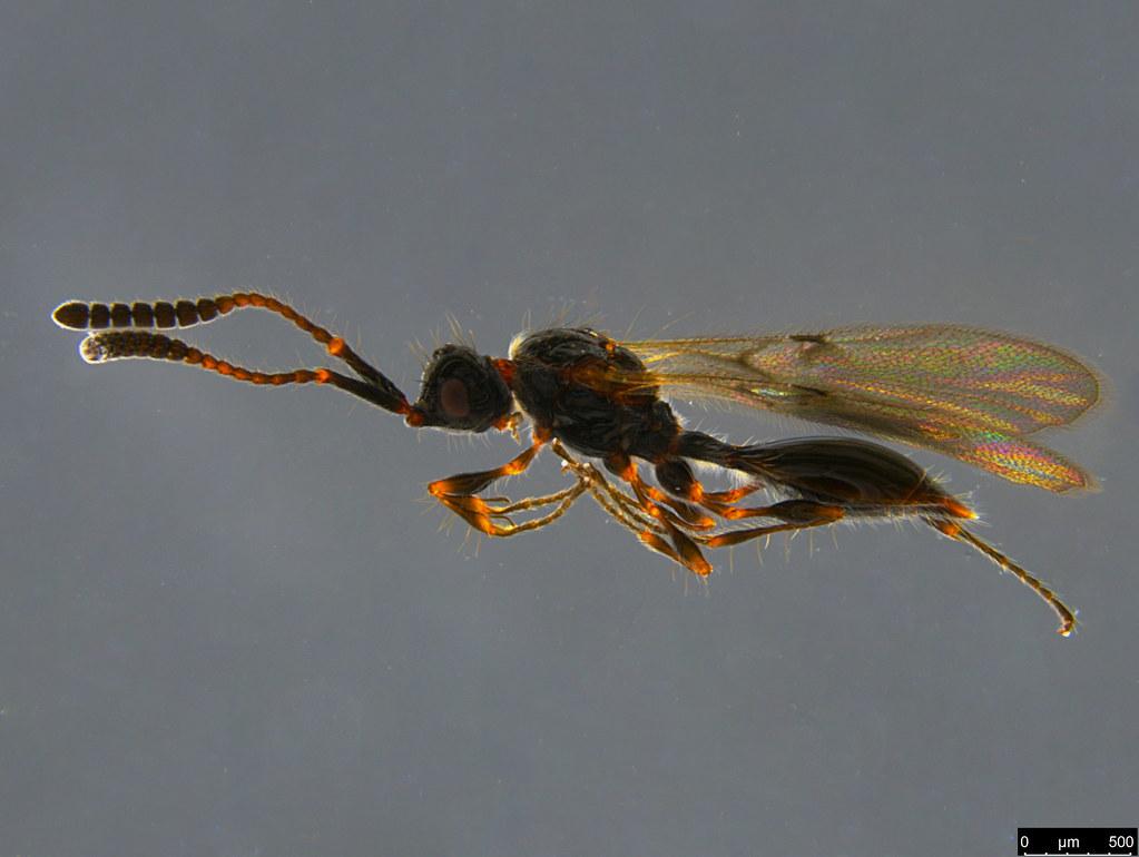 17a - Diapriidae sp.