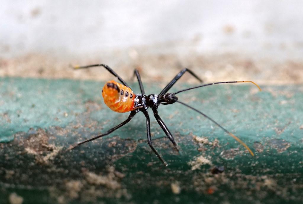 wheel bug nymph 2
