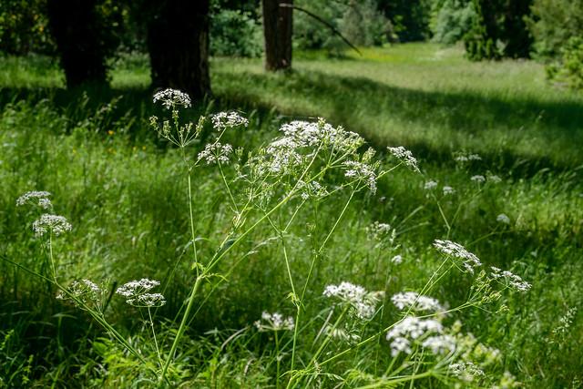 Potsdam, Park Sanssouci: Wiesenkerbel auf einer Wiese im Nordischen Garten - Cow parsley on a meadow in the Nordic Garden