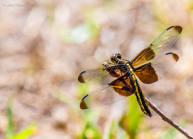 20210622-8660-AG - Dragonfly - Hillsdale Lake Kansas