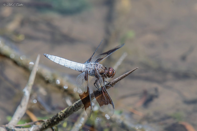 20210622-8644-AG - Dragonfly - Hillsdale Lake Kansas
