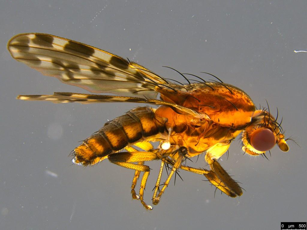 3 - Diplogeomyza maculipennis (Malloch, 1926)