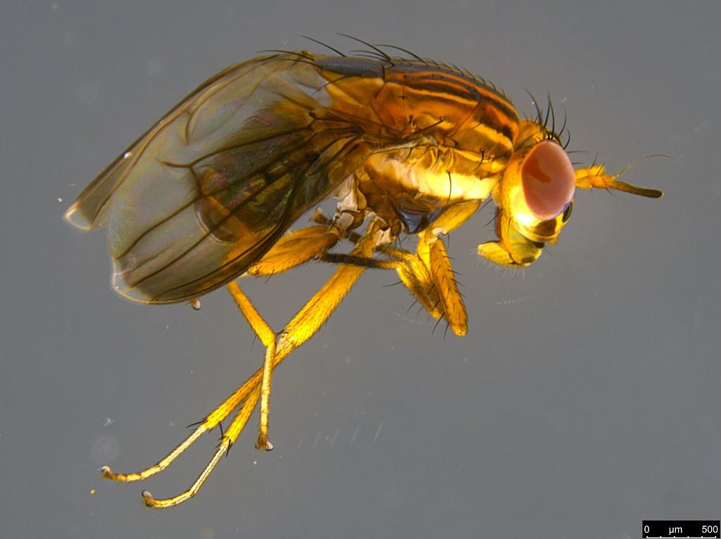 4a - Steganopsis melanogaster (Thomson, 1869)