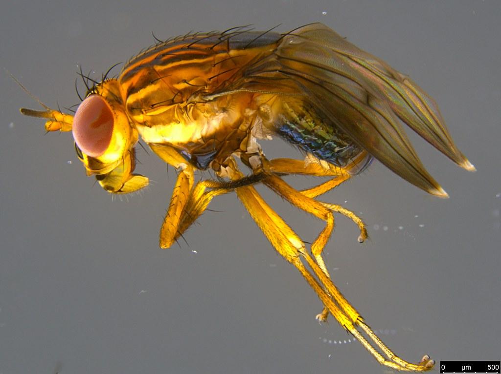 4b - Steganopsis melanogaster (Thomson, 1869)