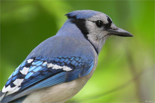 Blue Jay Macro