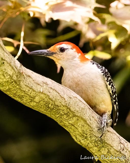 Red-bellied Woodpecker #4-1