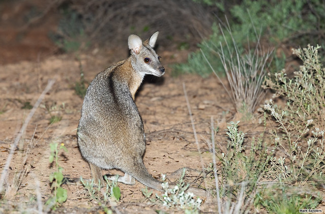 Notamacropus dorsalis (Black-striped Wallaby)