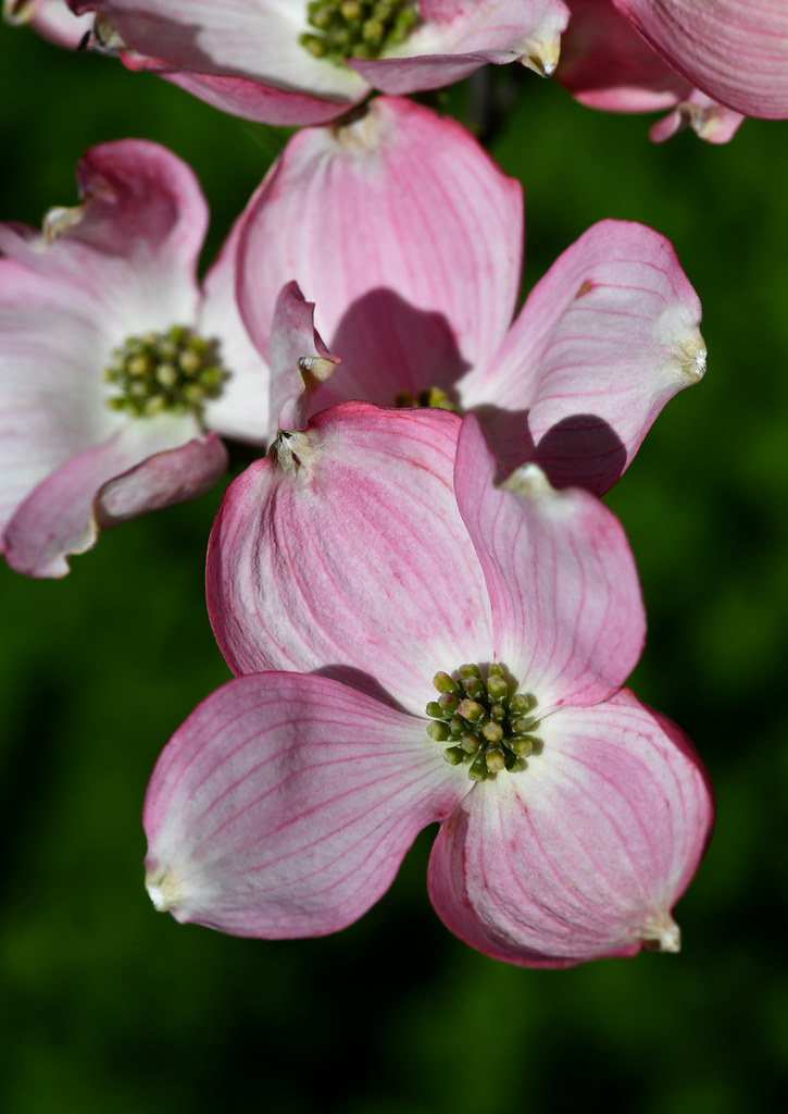 Pink flowering tree, Highland Park