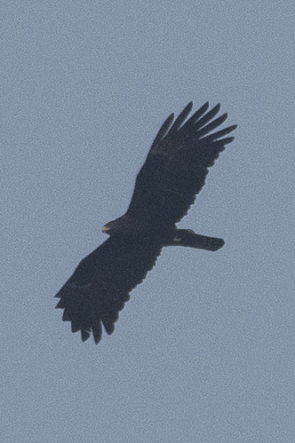 Sikkim South Birds-50 - Ictinaetus malaiensis