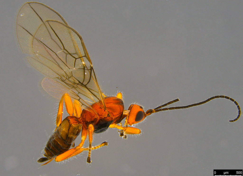 13a - Braconidae sp.