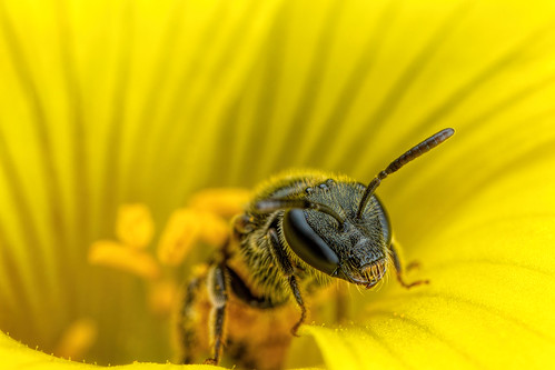 Sweat Bee in a Sourgrass Flower
