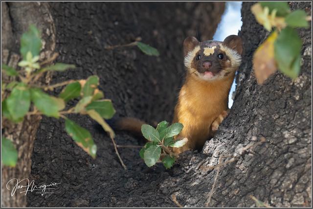 Tree-climbing Weasel 1935