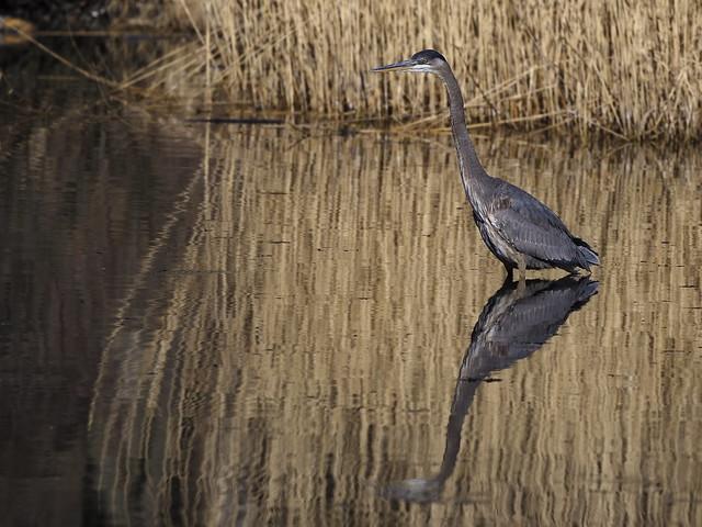 Great-blue Heron - Forest Park, New York, USAark,