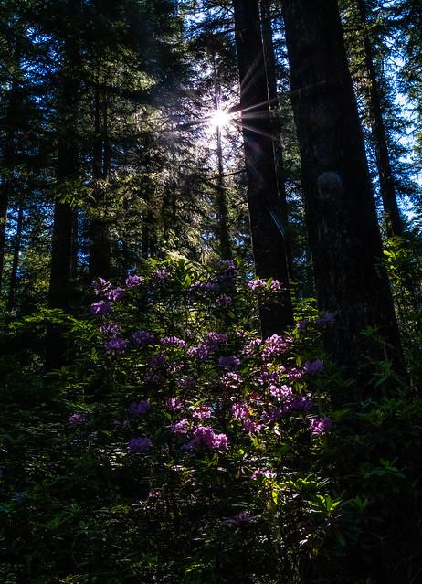 Mountain Rhododendron