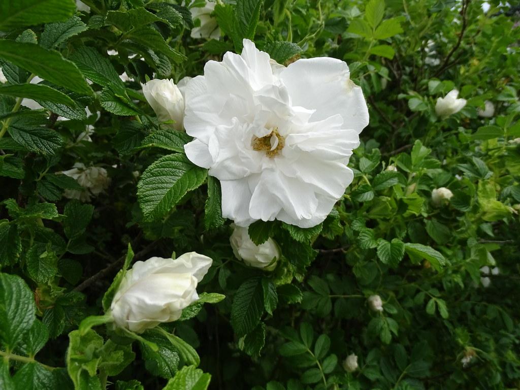 "Rosa ""Blanc Double de Coubert"""