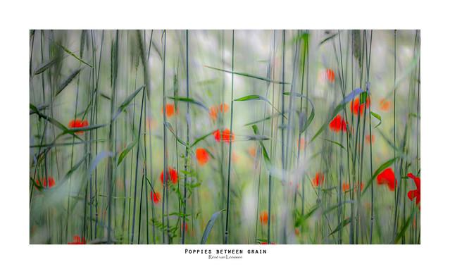 Poppies between grain