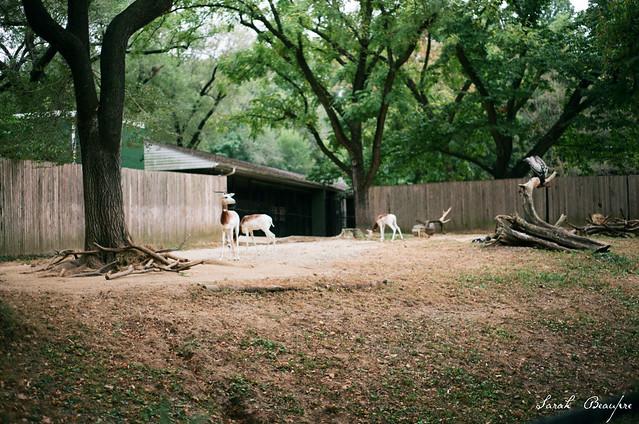Addra gazelles and Rupell's griffon vulture.