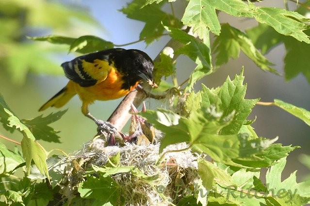 Baltimore Oriole with babies
