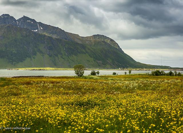 Yellow field in Lofoten