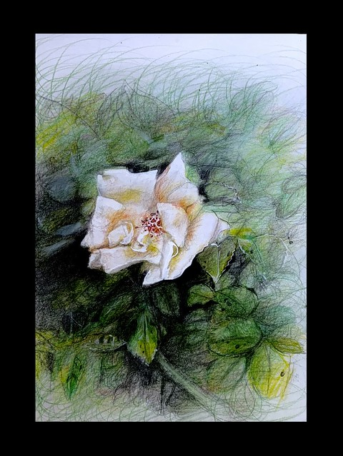 Last stage of 2. Climbing Rose Flower. Coloured pencil drawing by jmsw on card.