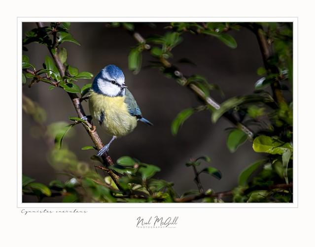 Blue Tit-5386