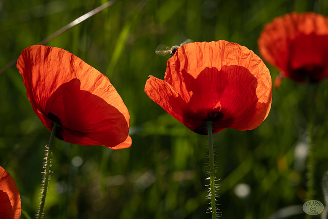 busy bee behind the poppy