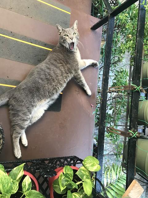 Tigger Cat