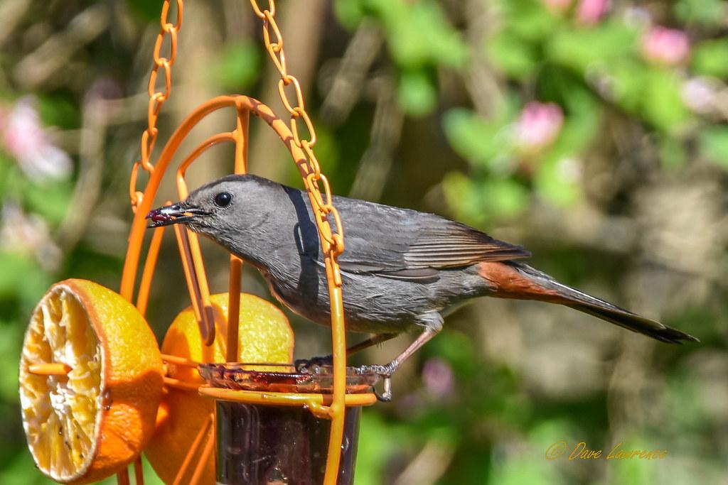 Gray Catbird - DEL_6458-LRwm