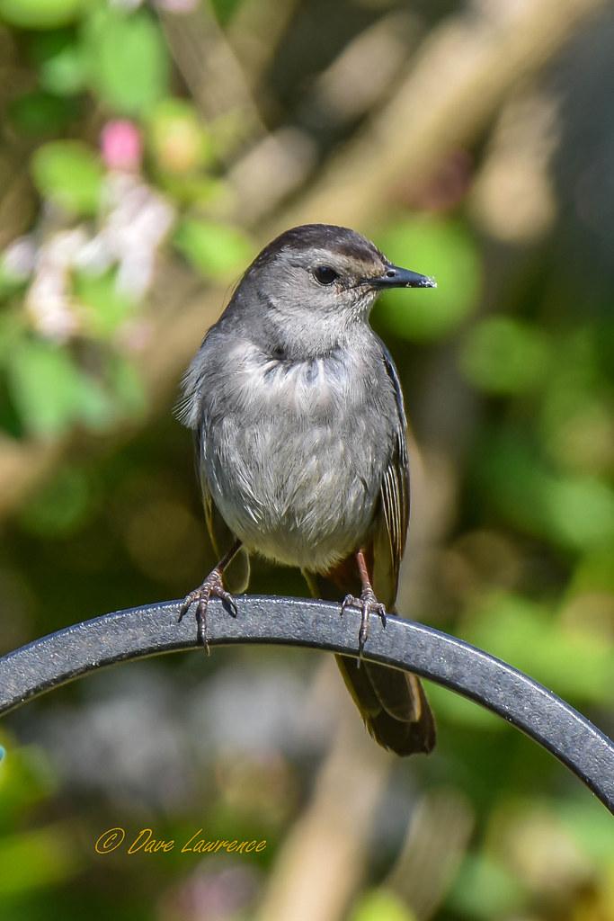Gray Catbird - DEL_6443-LRwm