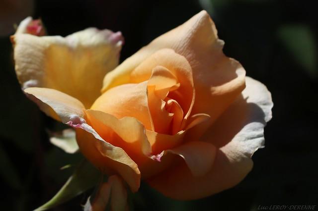 rose Crépuscule (créée par Francis Dubreuil)