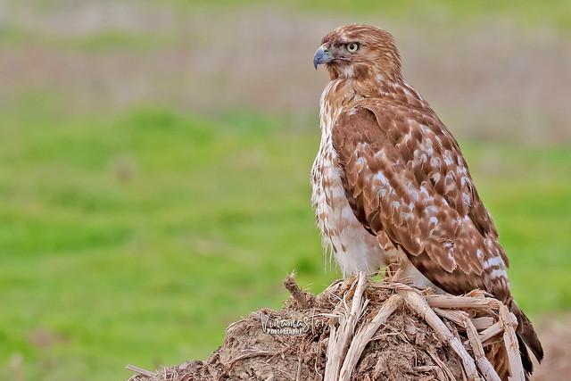 Hawk Stalking Prey