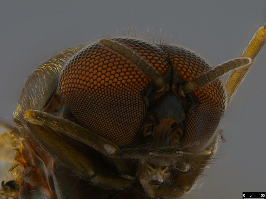 7d - Simuliidae sp.
