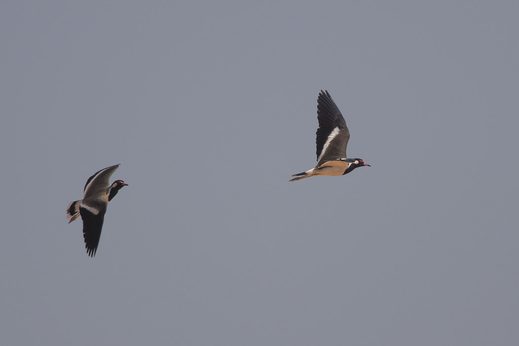 Red-wattled Lapwings taking off
