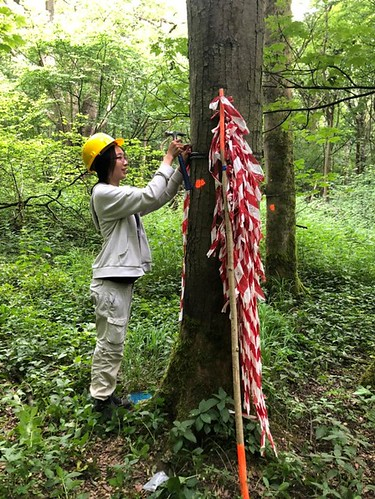 Tue, 06/22/2021 - 14:07 - Wytham Woods field crew member, Rachael re-tagging a sycamore tree at 1.60 m.  Photo credit: Walter Huaraca Huasco