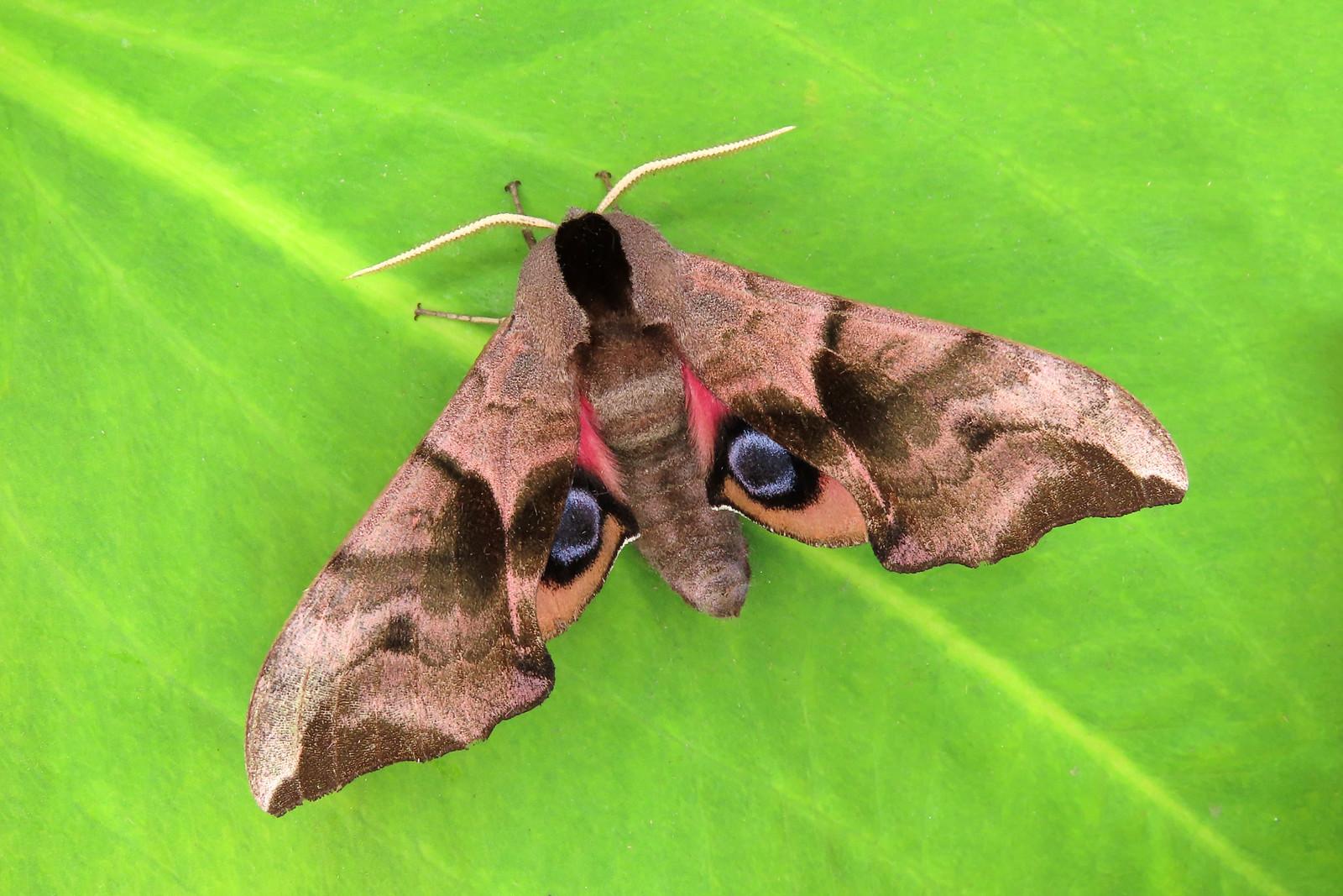 69.002 Eyed Hawk-moth - Smerinthus ocellata