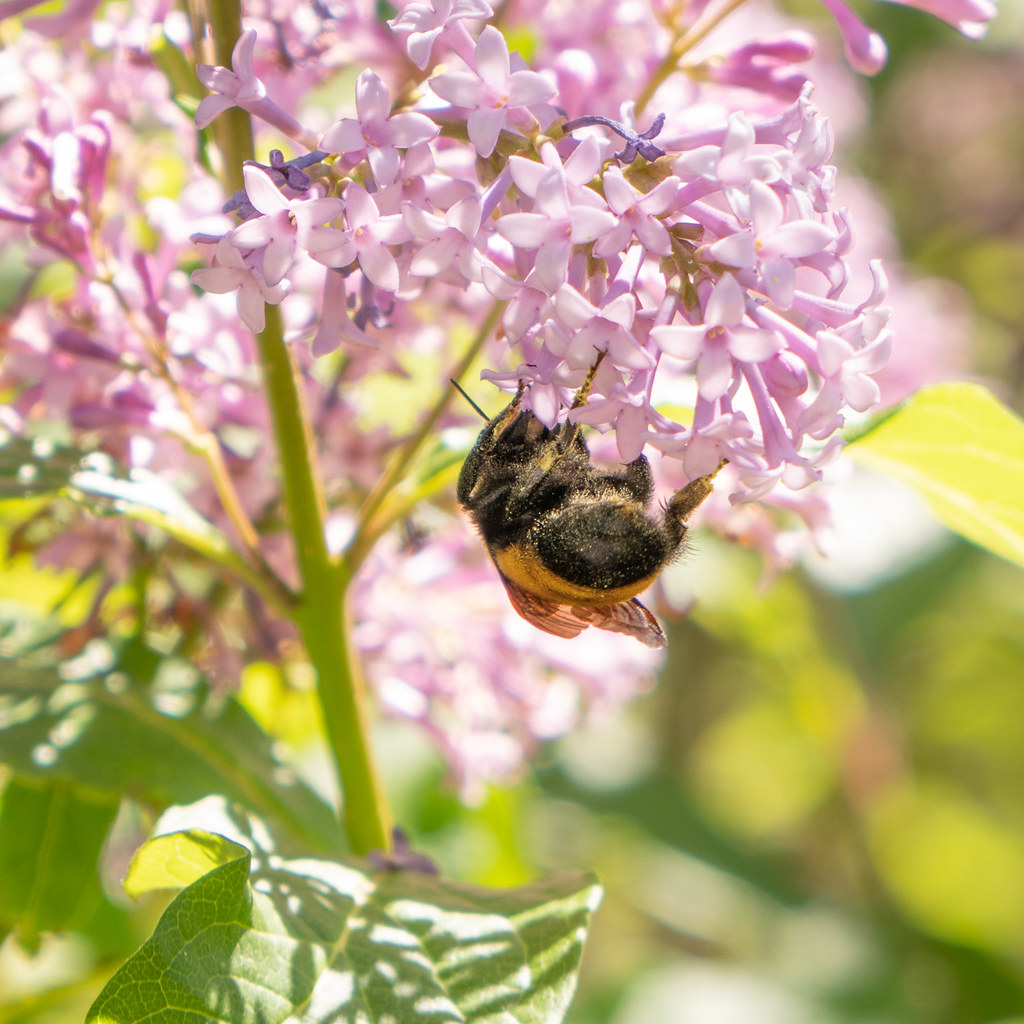 Bumble bee on lilac
