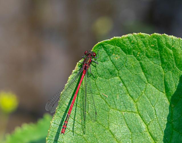 Large red damselfly - Pyrrhosoma nymphula - Frühe Adonislibelle