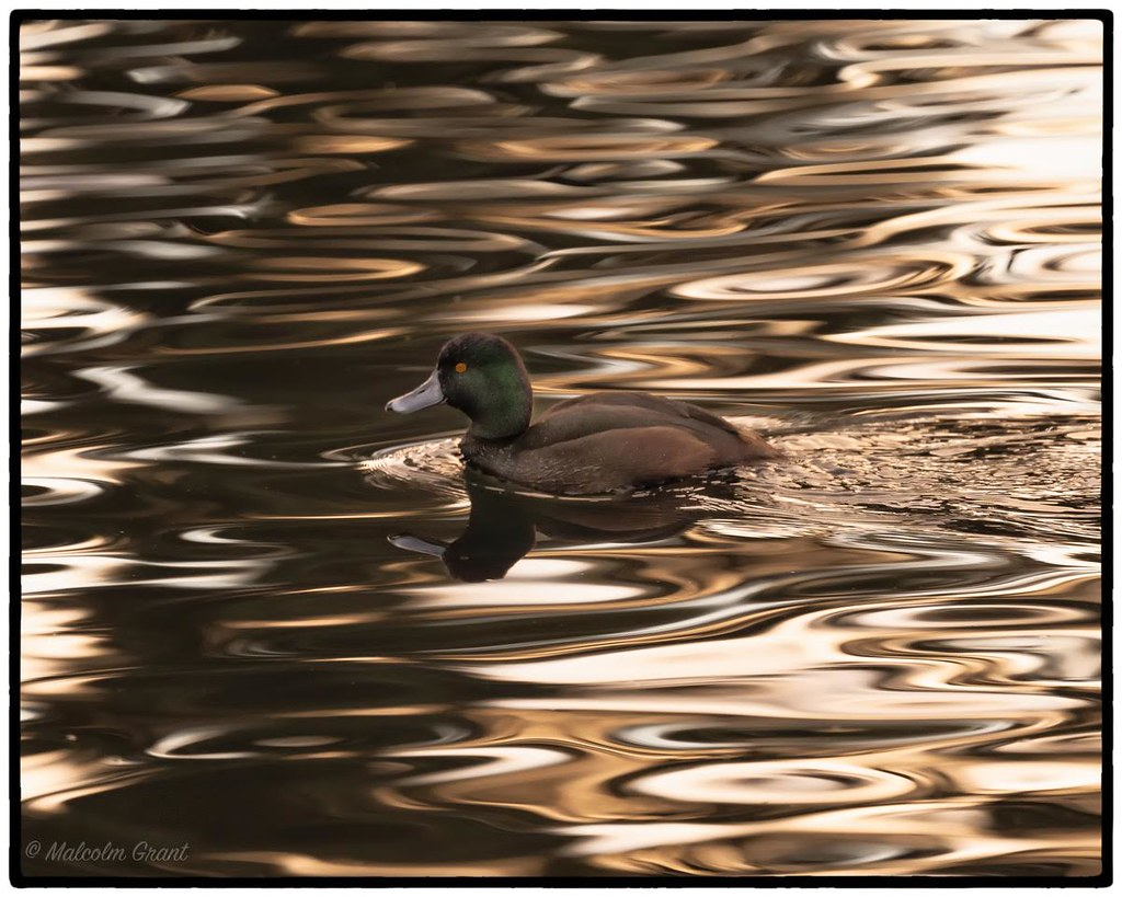 Little Scaup paddles away.