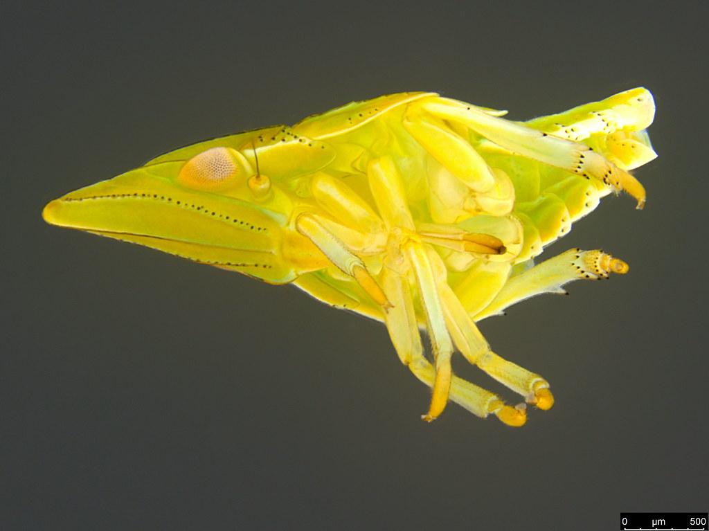 10b - Hemiptera sp.