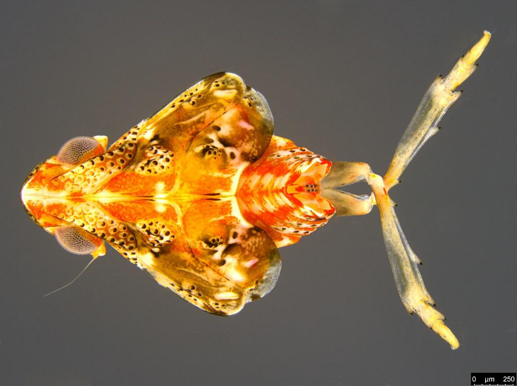 11c - Flatidae sp.