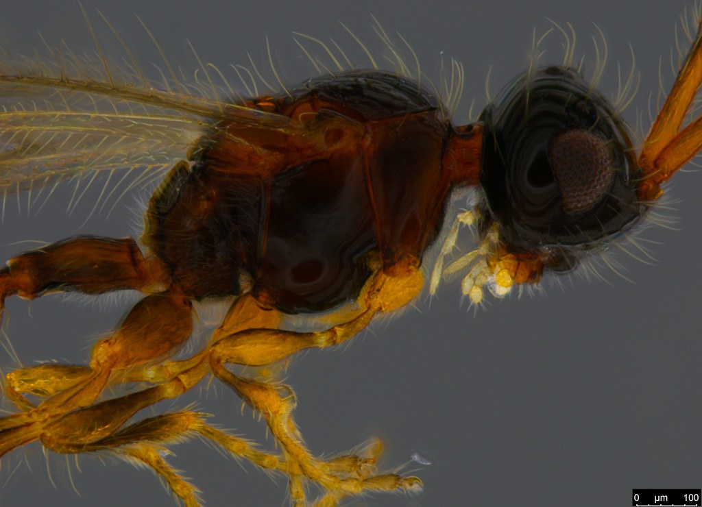 16b - Stylaclista sp.