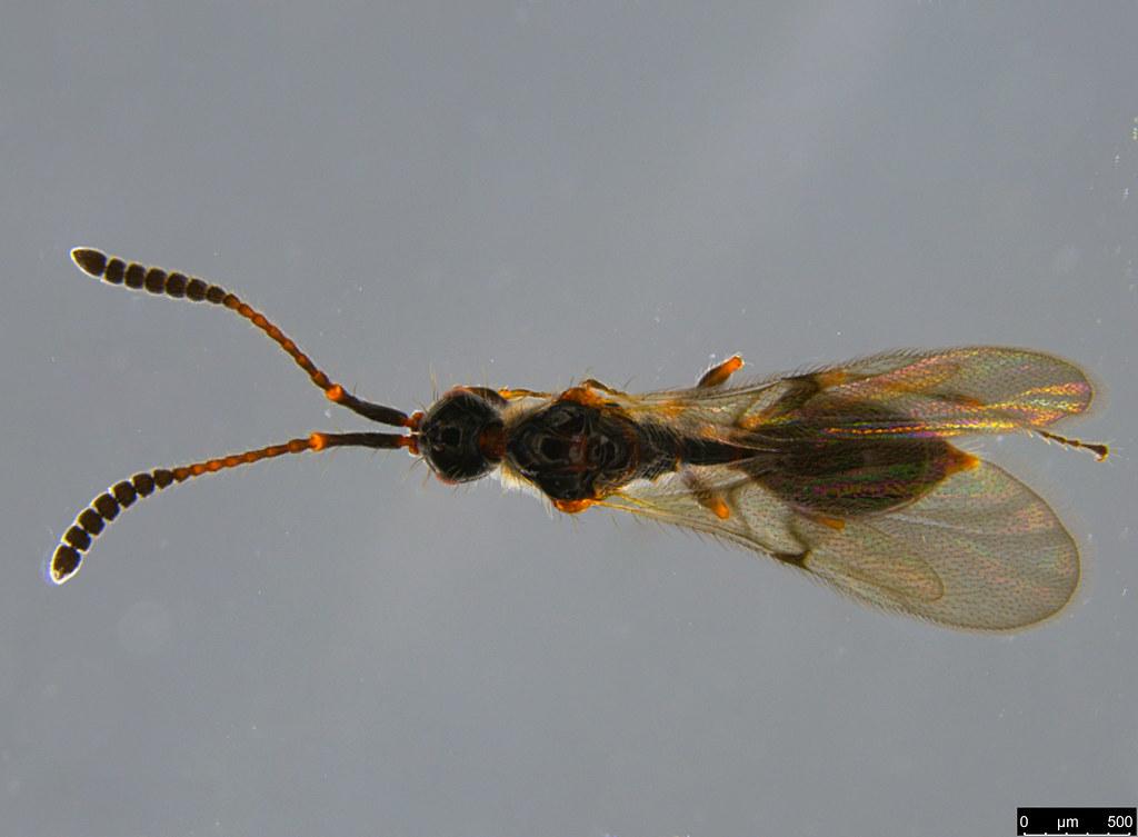 17c - Diapriidae sp.